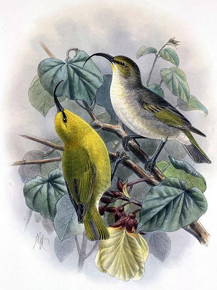 http://upload.wikimedia.org/wikipedia/commons/thumb/d/df/Hemignathus_lucidus_hanapepe.jpg/430px-Hemignathus_lucidus_hanapepe.jpg