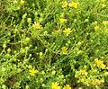 Hemizonia minthornii 1.jpg