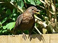 Hen blackbird on a fence, Swindon - geograph.org.uk - 334583.jpg