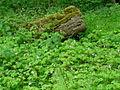 Herb-Robert (Geranium robertianum). - geograph.org.uk - 1306854.jpg