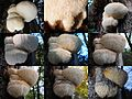 Hericium erinaceus (Bearded Tooth or Lion's Mane Mushroom, D= Igel-Stachelbart or Löwenmähne, F= Hydne hérisson, NL= Pruikzwam) white spores and causes white rot, as an overview of development in some 2 months. This - panoramio.jpg