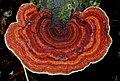 Hexagonia papyracea Berk 628081.jpg