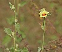 Hibiscus panduriformis in Kawal WS, AP W IMG 1649