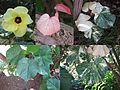 Hibiscus tiliaceus ('au).jpg