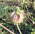 Hibiscus trionum, kelkblasie, Springbokvlakte.jpg