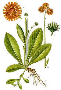 Hieracium aurantiacum Sturm60