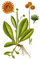 Hieracium aurantiacum Sturm60.jpg
