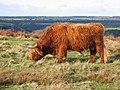 Highland Beast - geograph.org.uk - 277957.jpg