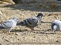 Hill Pigeons (Columba rupestris) & a Rock Dove (Columba livia), Gojal, Gilgit-Baltistan, Pakistan (46557702732).jpg