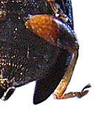 Hind leg Halticinae.jpg