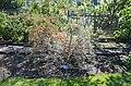 Hippophae rhamnoides notanical garden T.U.Delft in 2015 34.jpg