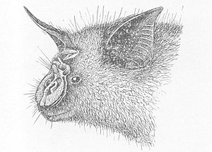 Hipposideros cyclops.jpg