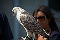 Holding a Falcon. (7854237598) (2).jpg