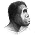 Homo rudolfensis.png