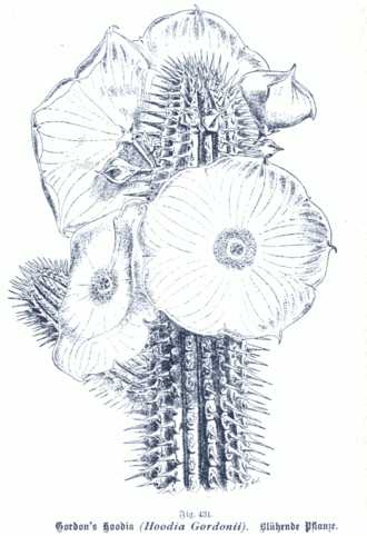 Bioprospecting - The succulent Hoodia