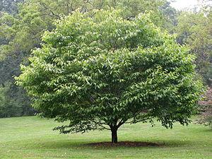 Acer carpinifolium - Image: Hornbeam Maple Acer carpinifolium Tree 3264px