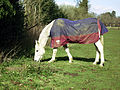 Horse (2317758669).jpg
