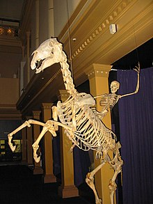 Horse Skeletal Adaptations