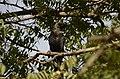 House crow thirupanjeeli JEG0253.jpg
