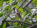 House sparrow 001.jpg