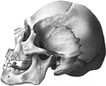Huron Mongoloid American Indian skull.png