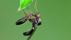 File:Hybos femoratus - 2012-07-09.ogv