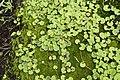 Hydrocotyle asiatica 6146.jpg