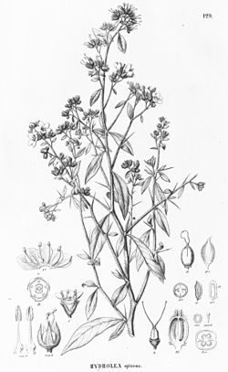 Hydrolea spinosa.jpg