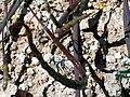 Hypecoum procumbens SeedsPod 25April2009 CampodeCalatrava.jpg