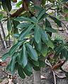 IKAl 20131101 Lithocarpus edulis.jpg