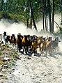 IX Rapa das Bestas do Xiabre en Catoira.jpg