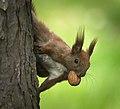 I got a nut! (26438676804).jpg