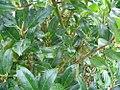 Ilex aquifolium Siberia Limsi 2zz.jpg