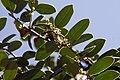 Ilex cornuta Dwarf Burford 7zz.jpg