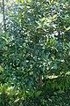 Ilex latifolia kz1.jpg