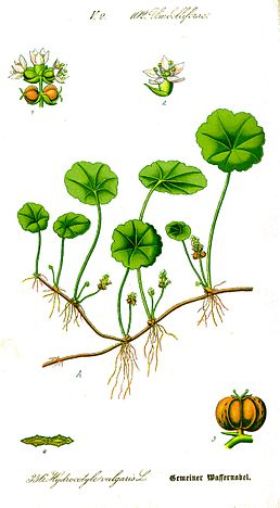 Illustration Hydrocotyle vulgaris0.jpg