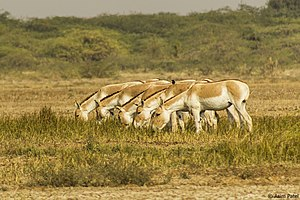 Indian wild ass - Indian wild ass herd having meal together in Little Rann of Kutch.
