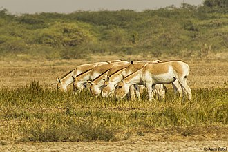 Kutch district - Indian wild ass