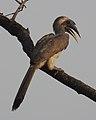 Indian Grey Hornbill Ocyceros birostris male by Dr. Raju Kasambe DSCN4231 (4).jpg