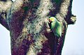 Indian Rose-ringed Parakeet (Psittacula krameri borealis) at the entrance of its nest (20073615869).jpg