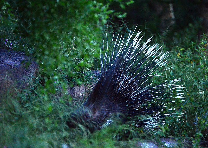 File:Indian crested porcupine.jpg