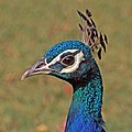 Indian peafowl (Pavo cristatus) peacock head Jaipur.jpg