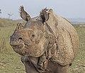 Indian rhinoceros (Rhinoceros unicornis) 2.jpg