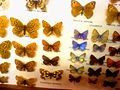 Insectarium Butterfly Collection.jpg