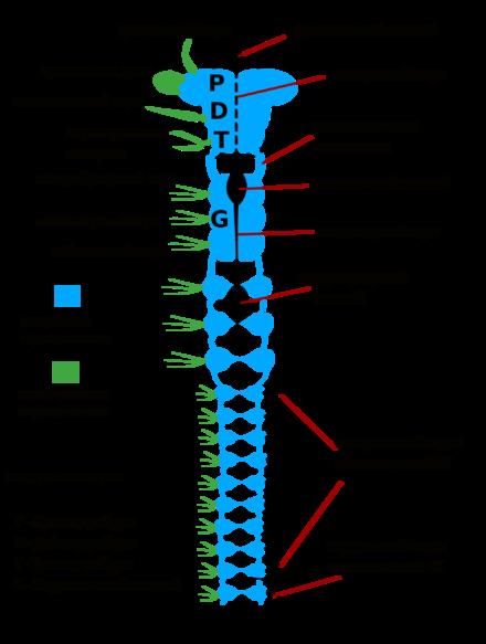 Схема строения нервной системы