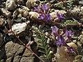 Inyo milkvetch, Astragalus inyoensis (15938824220).jpg