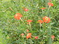 Ipomoea x sloteri (I. coccinea x I. quamoclit)2.jpg