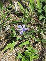 Iris cristata (26839747815).jpg