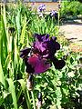 Iris hybr. 01.JPG