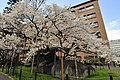 Ishiwari-zakura (5669190190).jpg